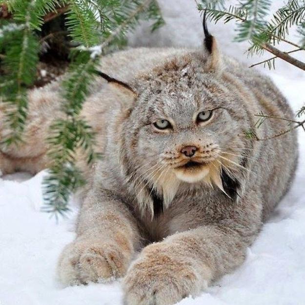 Канадская рысь - Lynx canadensis   https://goo.gl/nuVflq