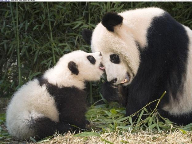 giant-panda-and-cub-playing-china-1tq6hd2