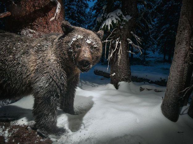 grizzly-bear-yellowstone-rush_89476_990x742
