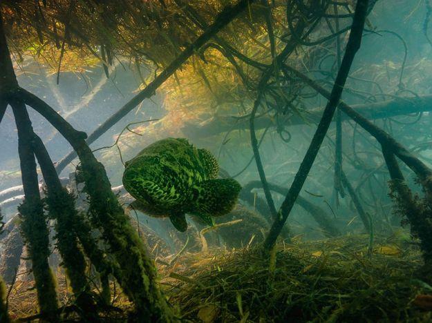 grouper-mangrove-florida-underwater_80562_990x742