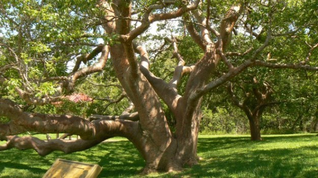 gumbo_limbo_tree_desoto_national_monument