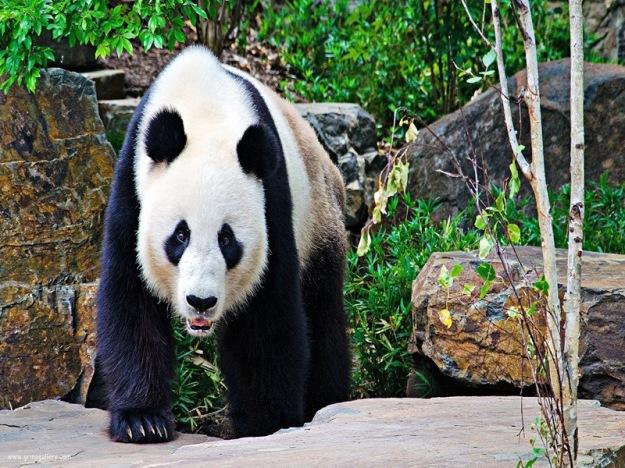 HD-Pandas-5-Desktop-Backgrounds