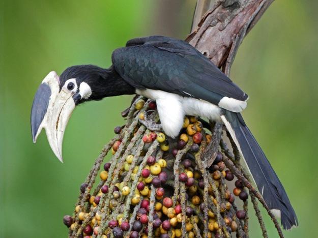 Malabar-Pied-Hornbill