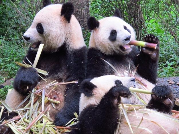 Panda-Bears