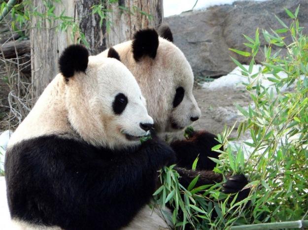 Panda-Widescreen-Wallpaper-1024x768
