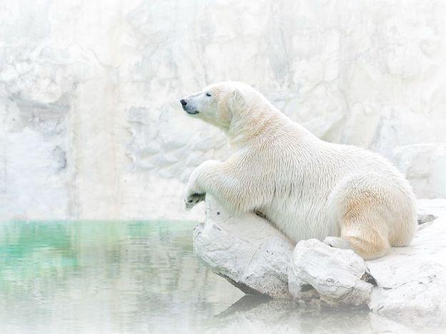 polar-bear-animal-rest_79795_990x742