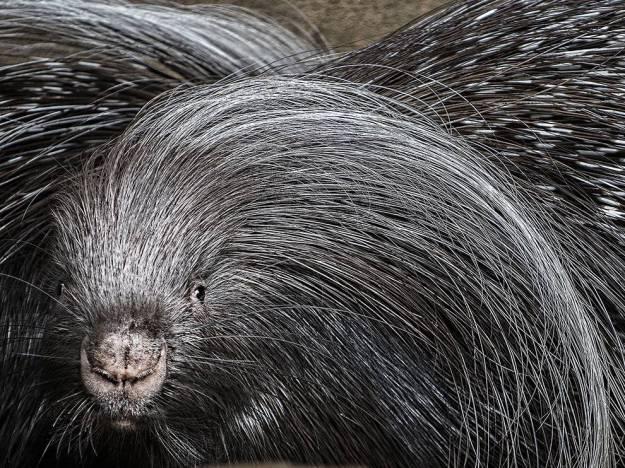 porcupine-quills-oregon-rodent_86769_990x742