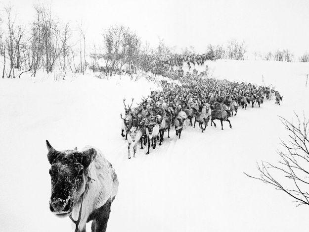 reindeer-herd-russia_76017_990x742