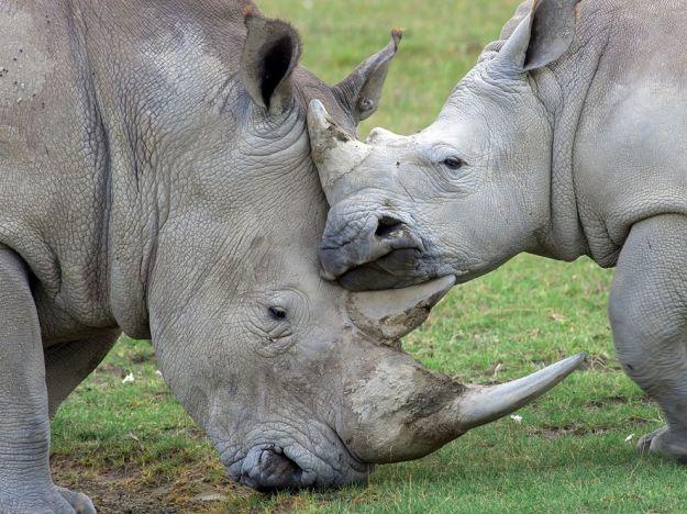 rhino-family-kenya_62681_990x742