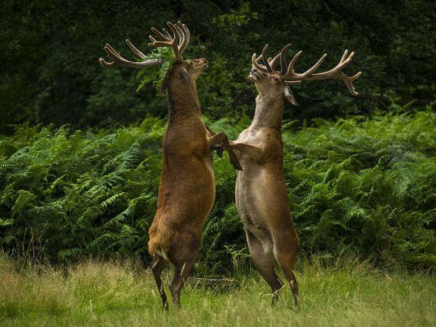 rutting-stags-richmond-england_86237_990x742