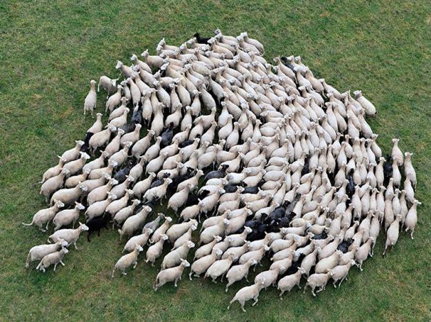 sheep-herds-around-the-world-25