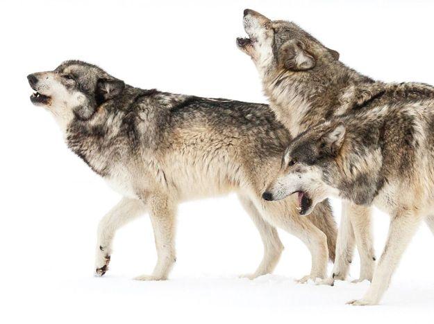 timberwolves-indiana-howl_76324_990x742