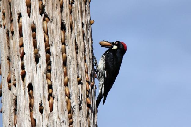 Acorn woodpecker_Alexandra Rudge_1357