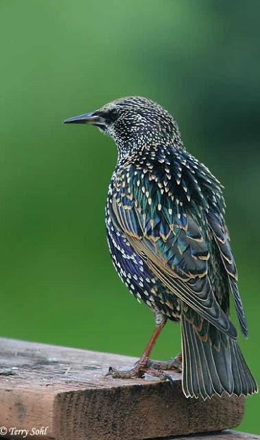 european common starling bird