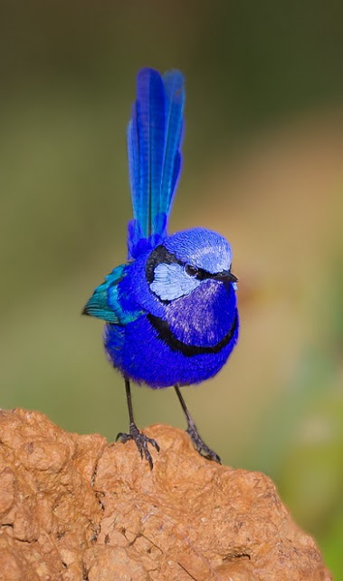 fairy wren blue bird (2)