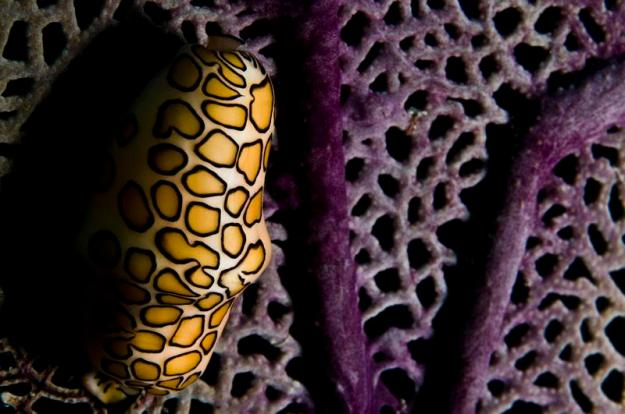 ocean-creatures-flamingo-tongue-snail-aerial
