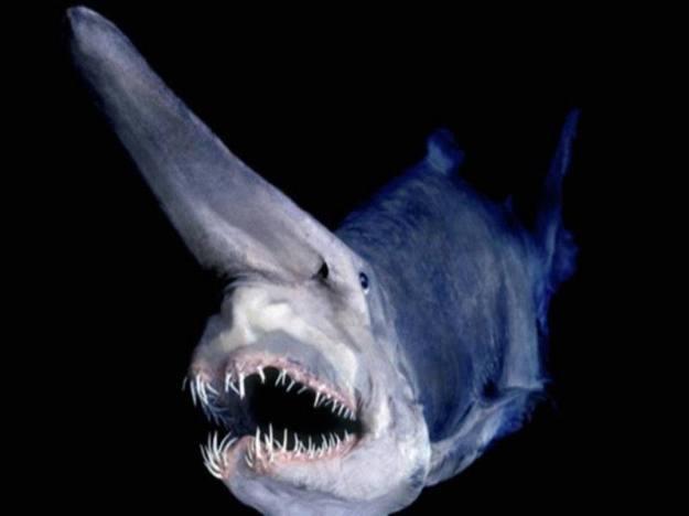 ocean-creatures-goblin-shark