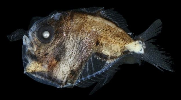 ocean-creatures-hatchetfish-transparent
