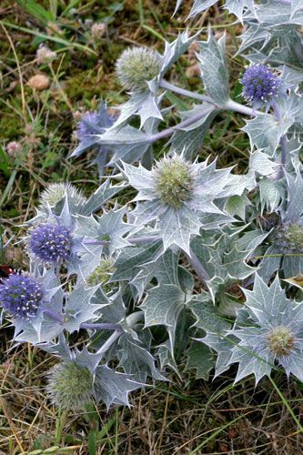 sea-holly-eryngium-maritimum