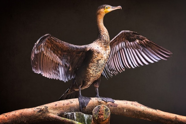 Standing-Proud-Cormorant-Aquatic-Bird