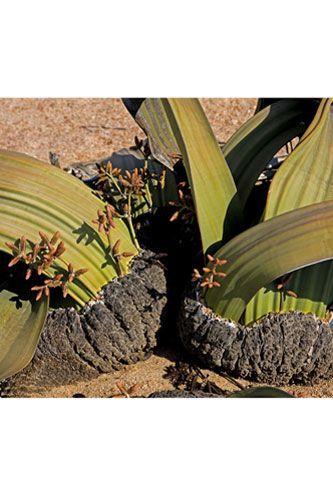 tree-tumbo-welwitschia-mirabilis