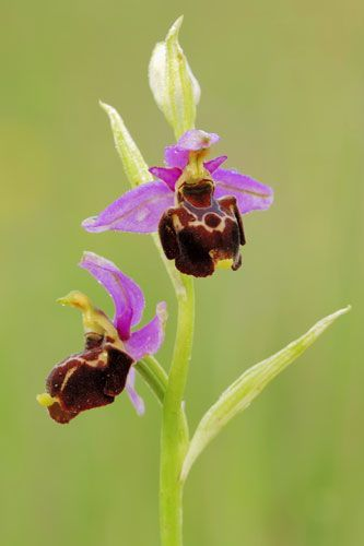 woodcock-orchid-ophrys-linearis