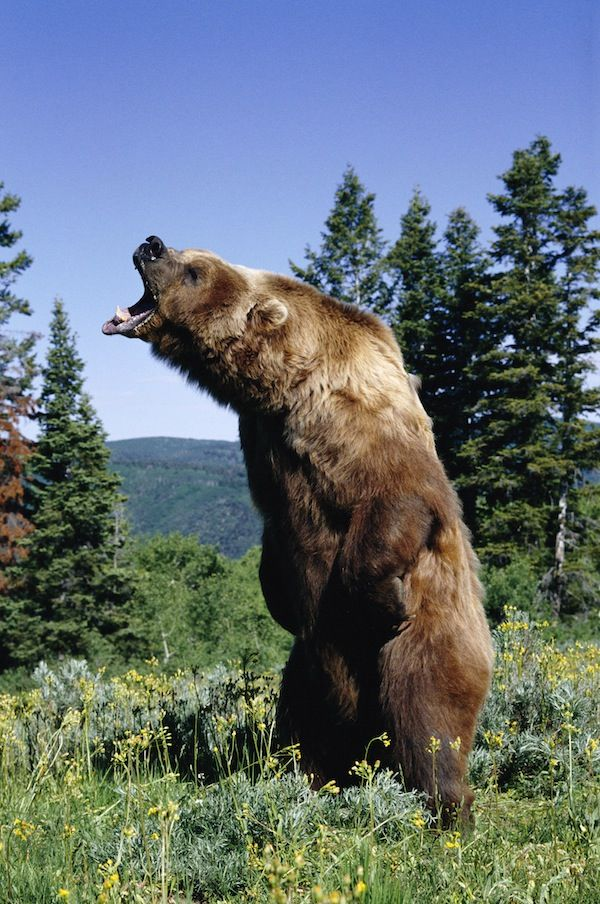 AMERICAN BROWN or GRIZZLY BEAR Ursus arctos horribilis snarling, July USA