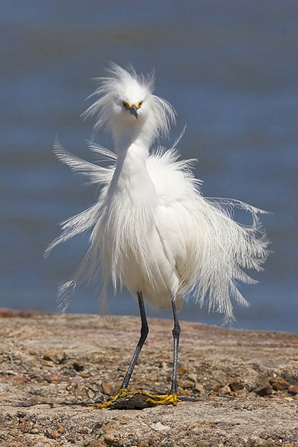 Snowy egret in breeding plumage on a granite boulder on East Beach, Galveston Island, Texas.