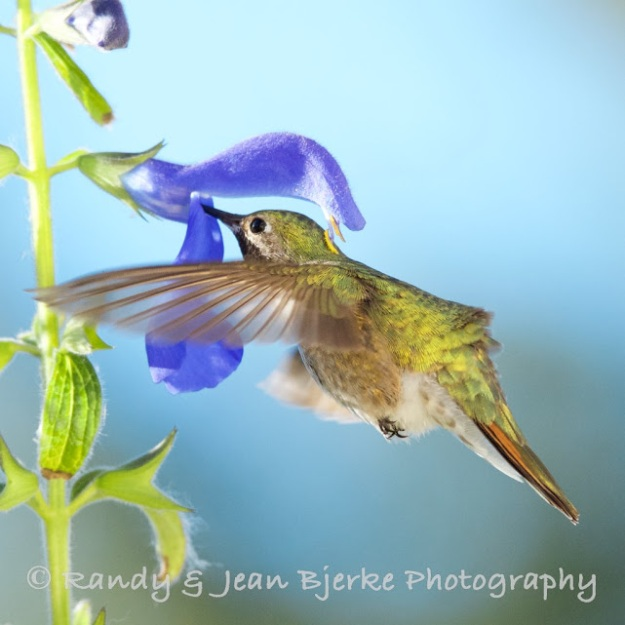 broad-tailed (1)