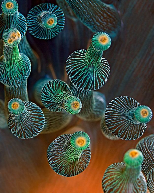 Bulb-tentacle Sea Anemone - Entacmaea quadricolor - Blasenanemone Taken in Bali, Indonesia