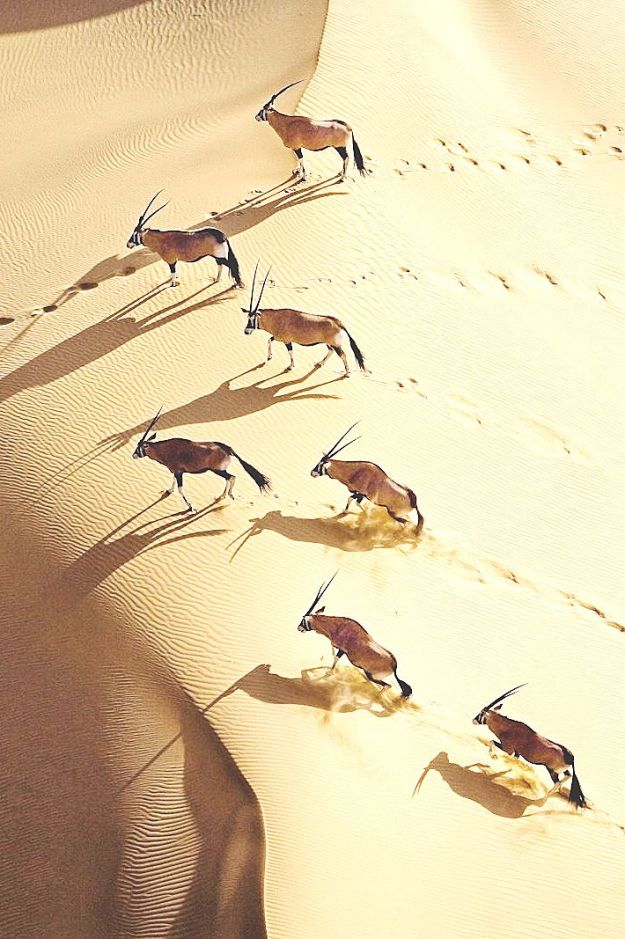 Gemsbok herd, northern Skeleton Coast, Namibia Gemsbok are able to survive in even the harshest con- ditions thanks to an intricate network of blood vessels in the nose which cool down the blood supplied to the brain.