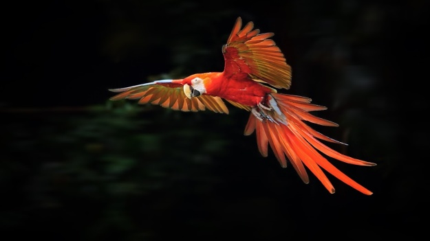 Flight-of-the-Scarlet-Macaw