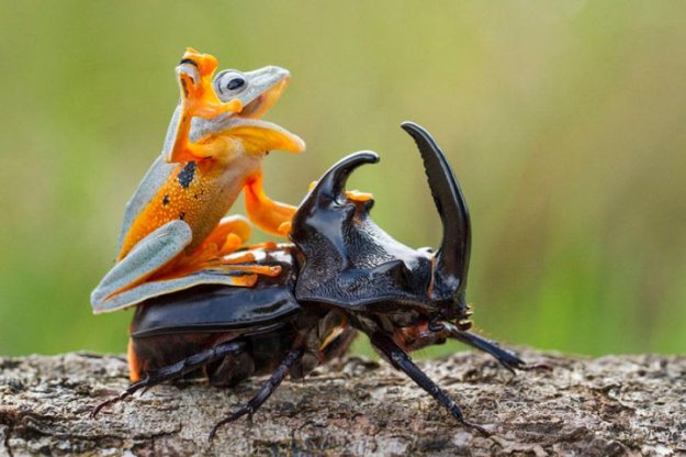 frog-riding-beetle-hendy-mp-2