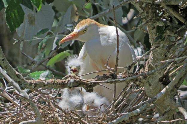 IMG_6080_Cattle-Egret