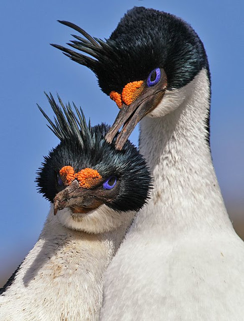 King Cormorants (Phalacrocorax atriceps)%2C also known as Imperial Cormorants or Blue-eyed Shags