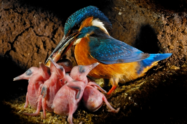 kingfisher_female_with_chicks