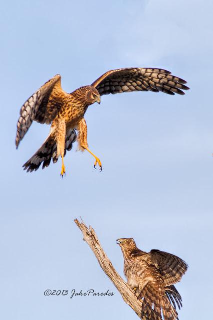_MG_9963_Harrier_vs_Cooper's
