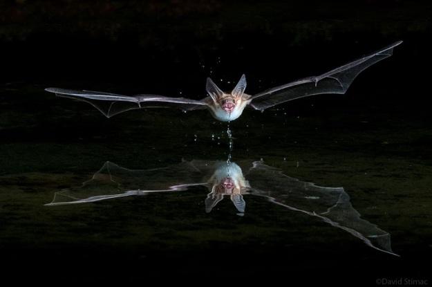 Pallid_bat