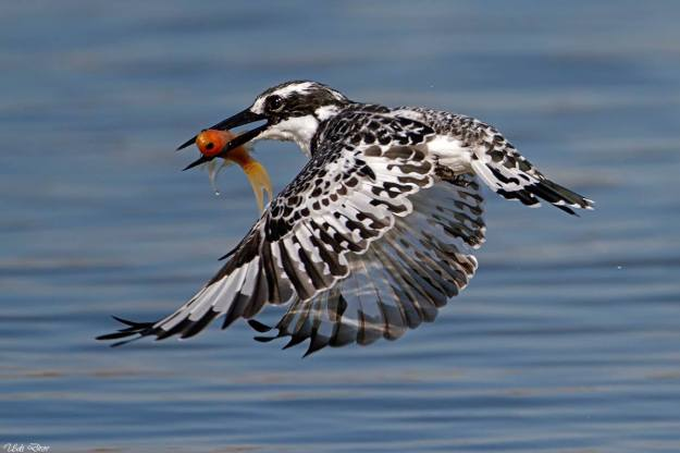 Pied-Kingfisher-Udi-Dror
