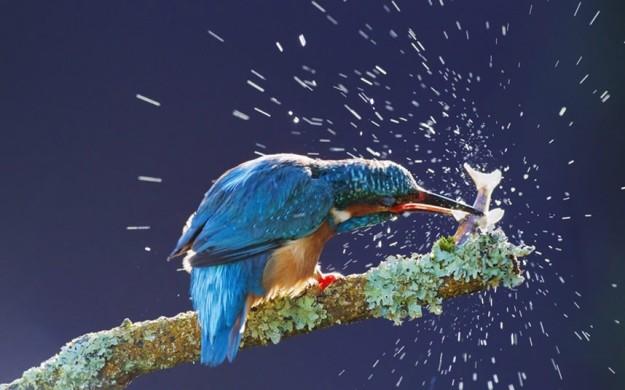 potd-kingfisher_2977653k