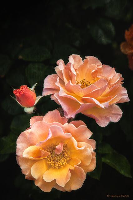 Rosa3_20150529_6751