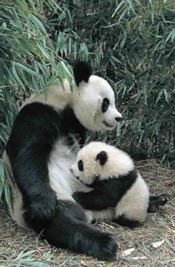 Cute-Baby-Giant-Panda-Breeding-Research-Base-China_1