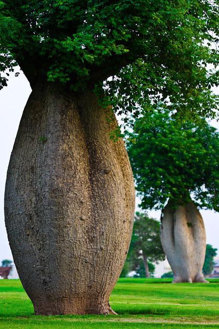 The-Toborochi-Tree
