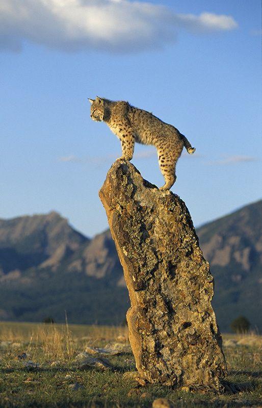 Bobcat Rotluchs Lynx rufus N,S,E,W America