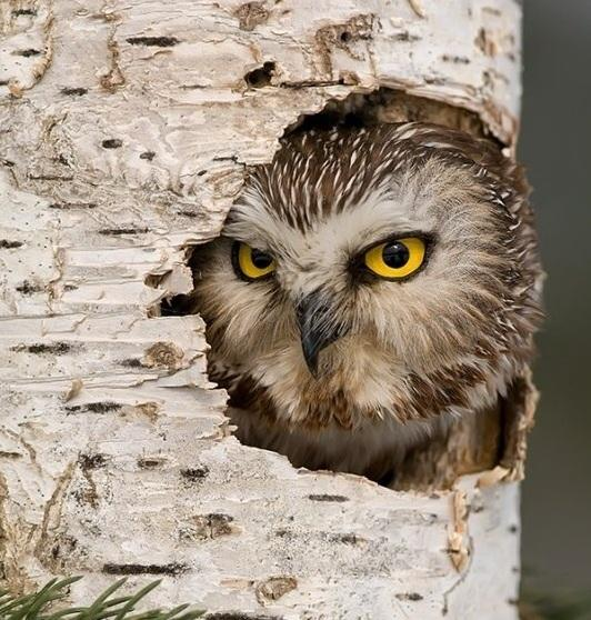 Northern saw-whet owl by Mike Lentz. Источник: http://goo.gl/Eb2xE