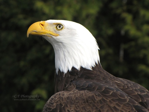Bald Eagle 527 by caybeach http://goo.gl/JHCHMY