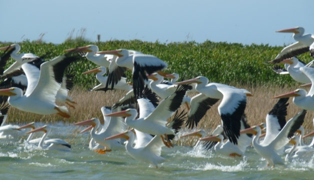 Wildlife-Pelican3