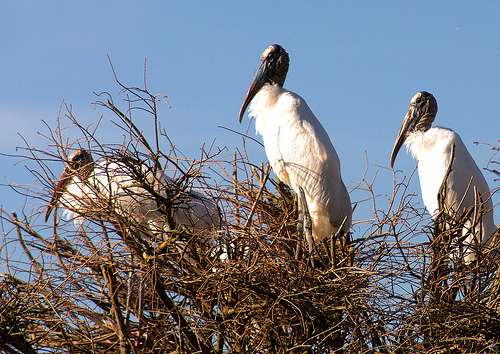 wood-storks-mycteria-americana-building-nests-rookery-harris-neck-national-wildlife-refuge-nwr-mcintosh-county-ga-picture-image-photograph-brian-brown-vanishing-coastal-georgia-2013