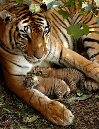 epa01253585 (FILES) Newly-born Indian Royal Bengal tiger cubs play with their mother in their enclosure at the Assam State Zoo in Guwahati, Sunday 06 November 2005. A new governments census released 12 February 2008 indicates that India's Tiger population as declined in the last five years. The numbers of the endangered species have fallen to 1411 down from 3642 in the last major in 2002. EPA/STR