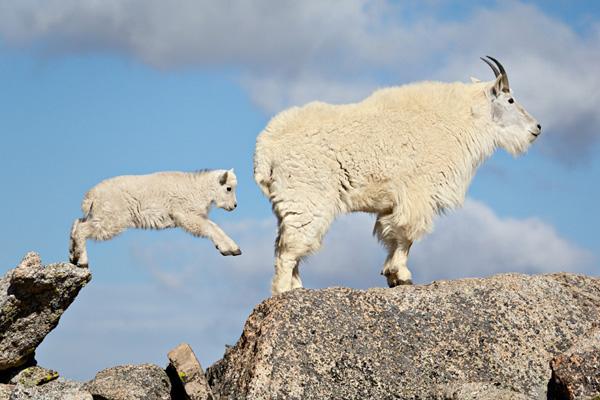 mountain-goats-600x400